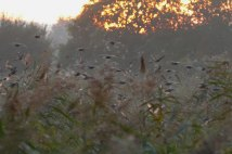 Starlings over Ham Wall reedbed