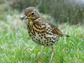 Thrush with Bug