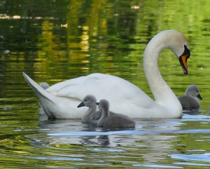 Mother swan with cygnets on the Bishop's Palace Moat