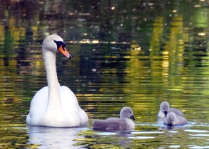 Mother swan with three small cygnets on the Bishop's Palace moat